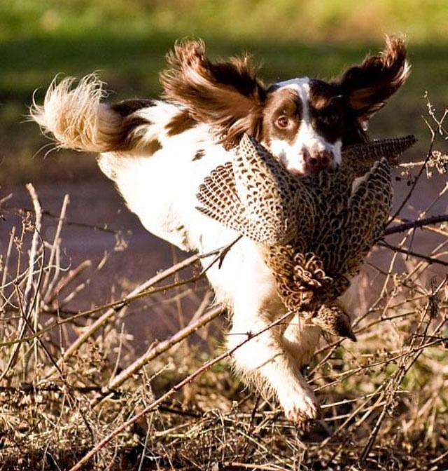 Mungo running with bird in mouth
